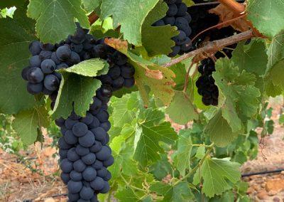 Waterleliefontein Vineyards